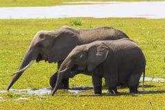 Elephants drinking Royalty Free Stock Images