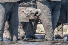 Elephants drinking water. Baby Elephant drinking water in Botswana Royalty Free Stock Photos