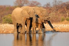 Elephants drinking water, Esotha Royalty Free Stock Photo