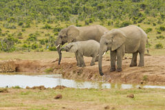 Elephants drinking at a water hole Royalty Free Stock Photo