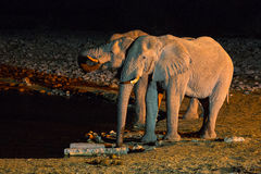 Elephants drinking water at night Royalty Free Stock Image