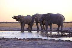 Elephants drinking water Royalty Free Stock Images
