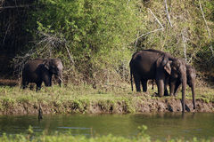 Elephants. Are drinking water in the river Royalty Free Stock Photos