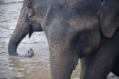 Elephants drinking water Stock Photography