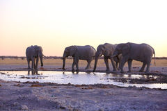 Elephants drinking water after sunset Stock Images