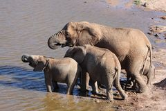 Elephants Drinking at Waterhole Royalty Free Stock Photo
