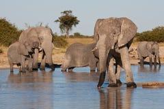 Elephants drinking at waterhole royalty free stock image