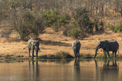 Elephants drinking from a waterhole Royalty Free Stock Image