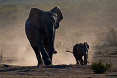Elephants in dust Stock Photos
