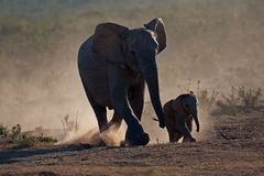 Elephants in dust Stock Photography