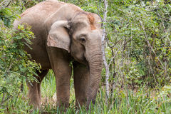 Elephants eat grass in National Park,Thailand Royalty Free Stock Photo