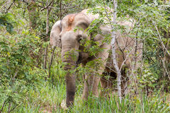 Elephants eat grass in National Park,Thailand Stock Images