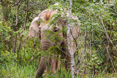 Elephants eat grass in National Park,Thailand Royalty Free Stock Photography