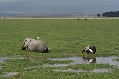 Elephants eating royalty free stock photo
