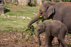 Elephants eating. An adult elephant with her baby eating in an elephant orphanage in Sri Lanka stock photo