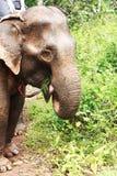 Elephants eating Royalty Free Stock Image