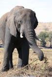 Elephants eating Stock Photos