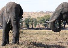 Elephants eating Stock Photography