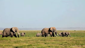 Elephants eating grass in Amboseli Park stock video footage