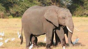 Elephants eating grass in Amboseli Park, Kenya. Elephants eating grass with cattle egrets in Amboseli Park, Kenya stock footage