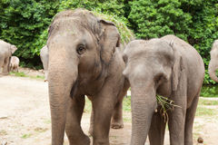 Elephants eating grass. Royalty Free Stock Images