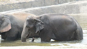 Elephants eating grass in  water stock video footage