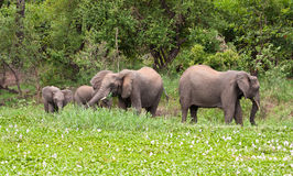 Elephants eating green grass Stock Photos