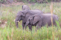 Elephants eating royalty free stock photography