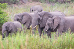 Elephants eating Stock Photo