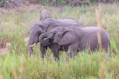 Elephants eating stock photography