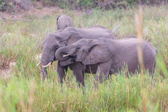 Elephants eating stock image