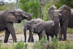 Elephants. Eating in Kruger Park Stock Photos