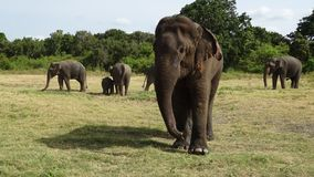 Elephants eating some grass in the savanna stock images