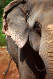 Elephants eating sugar cane Stock Photo