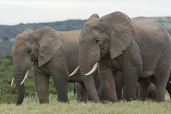 Elephants eating together Stock Images