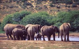 South Africa: Young elephants are running to the waterhole royalty free stock images