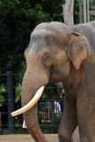 Elephants. Elephant with a cool stare stock photo