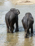 Elephants. Elephant in a river goin to bath royalty free stock photos