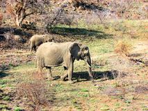 Elephants. Elephant walking in South Africa reservation Stock Image