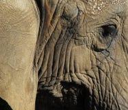Elephants (Elephantidae). Extreme close-up of an elephant skins and eye Royalty Free Stock Photos