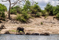 Elephants entering river Chobe Royalty Free Stock Photo