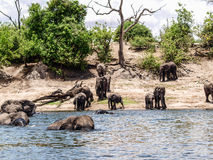 Elephants entering river Chobe Stock Images