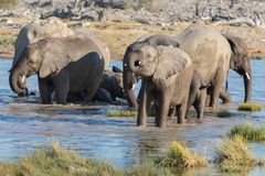 Elephants in Etosha Royalty Free Stock Images