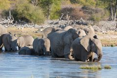 Elephants in Etosha Royalty Free Stock Photos
