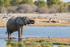Elephants in Etosha Royalty Free Stock Photo