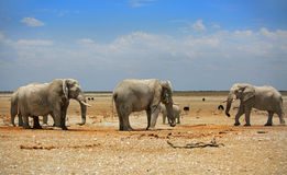 3 elephants in Etosha with a brilliant blue sky. Elephants around a waterhole and the dry dusty plains in Etosha with a brilliant vivid blue sky stock images