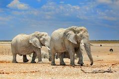 2 elephants in Etosha with a brilliant blue sky. Elephants on the dry dusty plains in Etosha with a brilliant vivid sky stock images