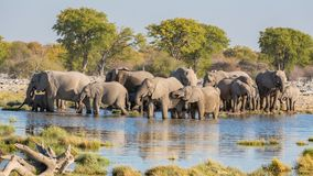 Elephants in Etosha. Group of Elephants drink at a waterhole in Etosha Royalty Free Stock Image