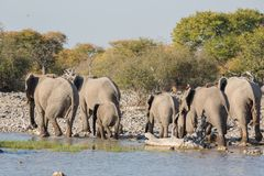 Elephants in Etosha Stock Photography