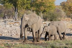 Elephants in Etosha Royalty Free Stock Image
